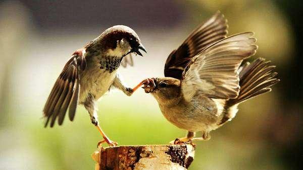 Воробьи дерутся, дерущиеся воробьи, фото фотография птицы