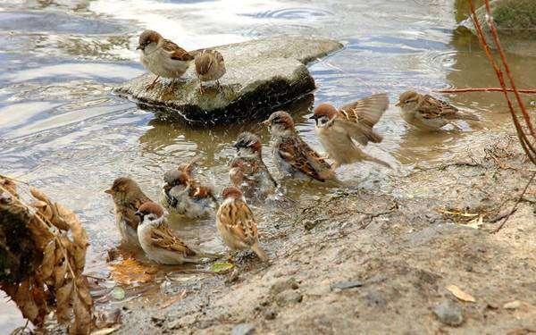 Воробьи у водопоя, воробьи пьют воду, фото птицы фотография картинка