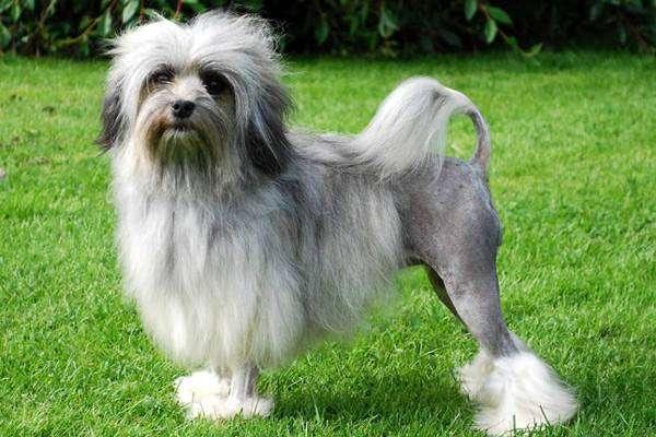Лион бишон, или Левхен, фото породы маленьких собачек фотография