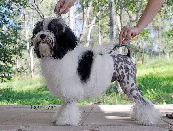 Лион бишон, или Левхен, фото породы собак фотография