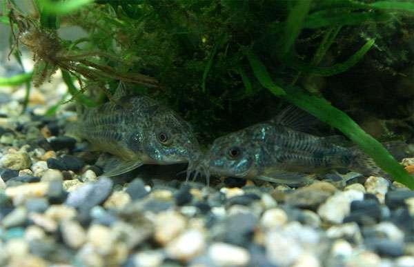 Крапчатые сомики (Corydoras paleatus), фото аквариумные рыбки фотография