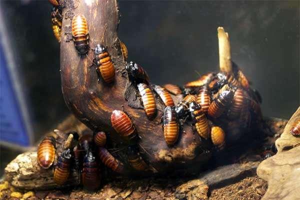 Мадагаскарские шипящие тараканы (Gromphadorhina portentosa), фото фотография картинка