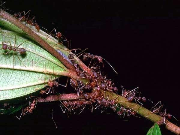 Муравьи на ветке, фото насекомые фотография картинка