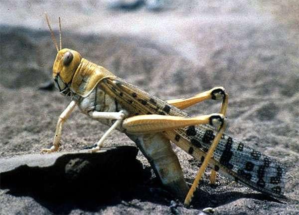 Пустынная саранча (Schistocerca gregaria), фото картинка изображение