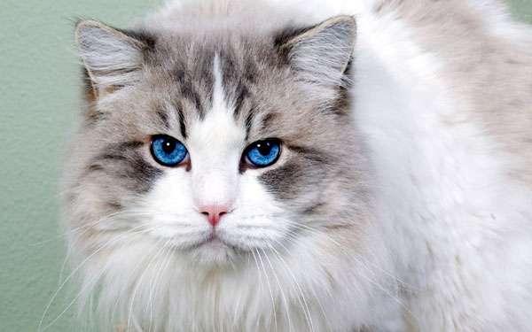 Сибирская кошка (окрас колор-пойнт), фото фотография новости о кошках