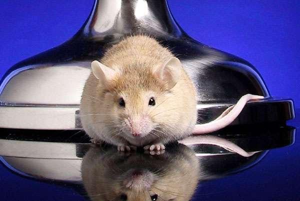 Домашняя крыса, фото новости о грызунах фотография картинка