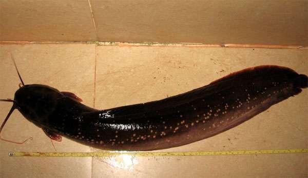 Шагающий сом (Clarias gracilentus), фото новости о рыбах фотография