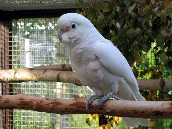 Соломонский какаду (Cacatua goffini), фото новости о попугаях птицах фотография