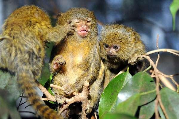 Карликовые игрунки (Cebuella pygmaea), фото приматы фотографии