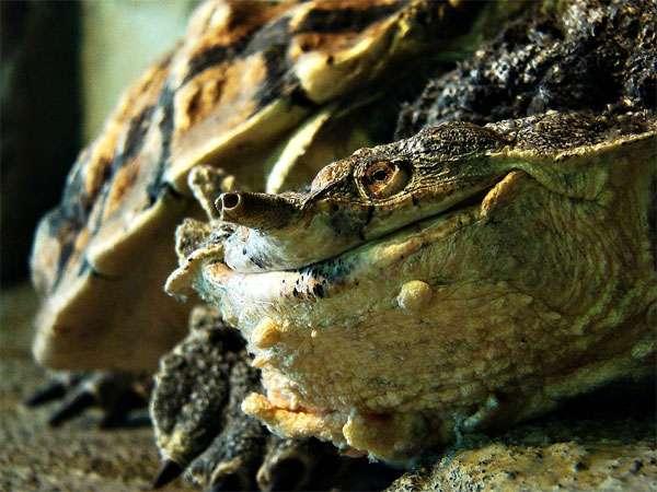 Бахромчатая черепаха, или мата-мата (Chelus fimbriatus), фото рептилии картинка