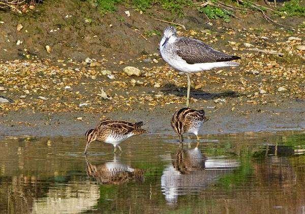 Дупель (Gallinago media), фото ьекасовые птицы фотография