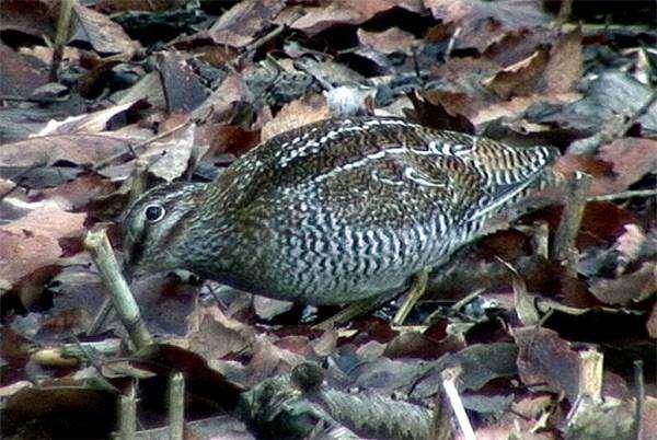 Горный дупель, или бекас-отшельник (Gallinago solitaria), фото ржанкообразные птицы фотография