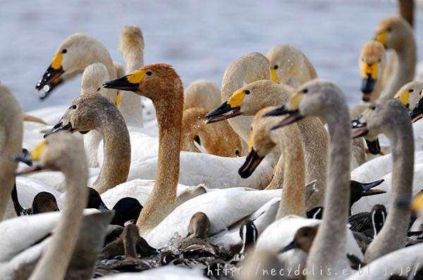 Лебедь тундровый (Cygnus bewickii) с птенцами, фото утиные птицы фотография