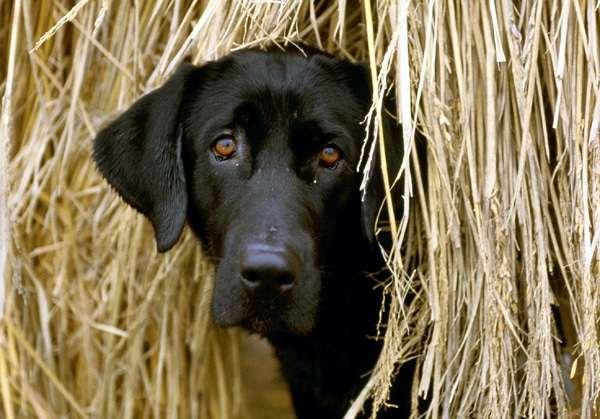Лабрадор ретривер, фото новости о животных собаки фотография
