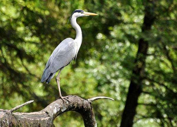Серая цапля (Ardea cinerea), фото птицы картинка