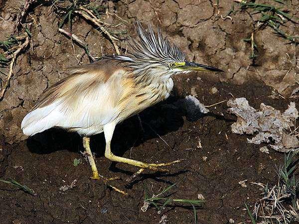 Желтая цапля (Ardeola ralloides), фото птицы фотография
