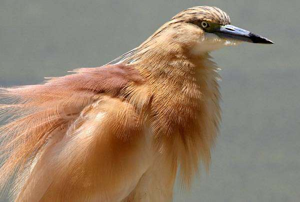 Желтая цапля (Ardeola ralloides), картинка аистообразные птицы фото