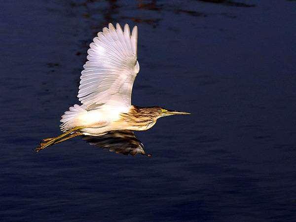 Желтая цапля (Ardeola ralloides), изображение птицы фотография