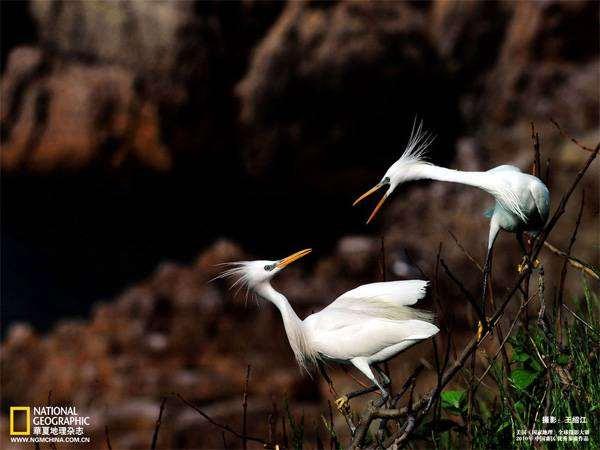 Желтоклювая цапля (Egretta eulophotes), картинка птицы фотография