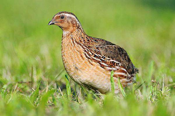 Перепел (Coturnix coturnix), фото куриные птицы фотография