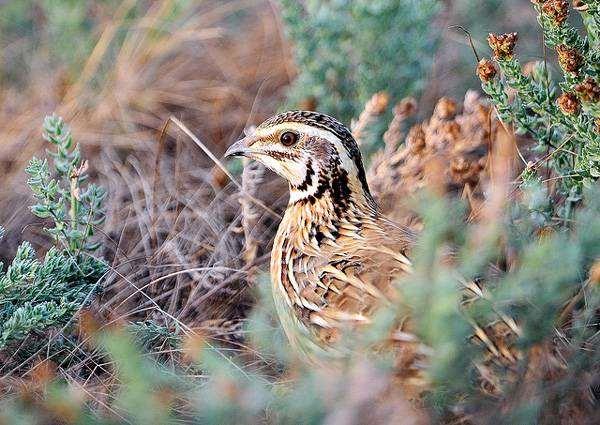 Перепел (Coturnix coturnix), фото фазановые птицы фотография