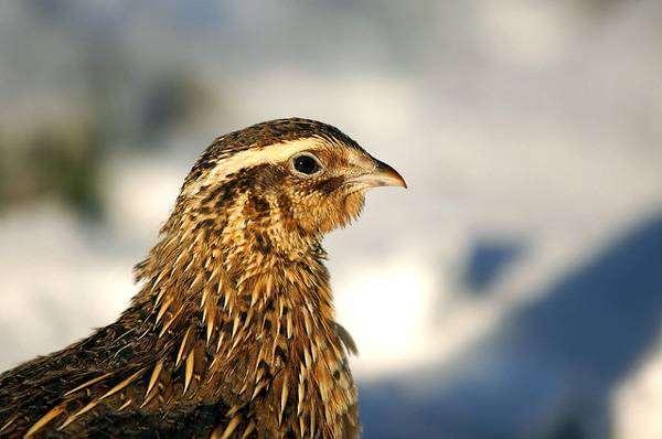 Перепел (Coturnix coturnix), изображение птицы фото