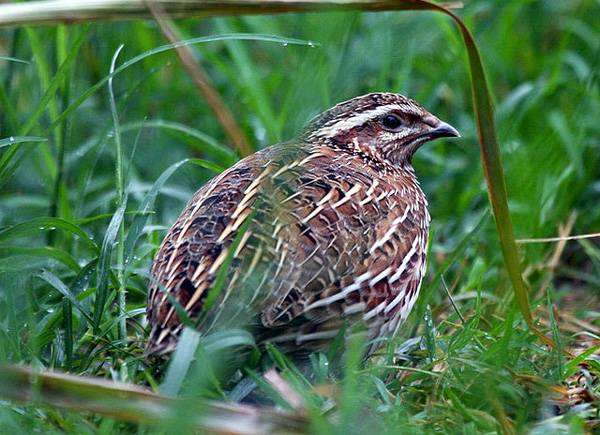 Перепел (Coturnix coturnix), изображение фото птицы
