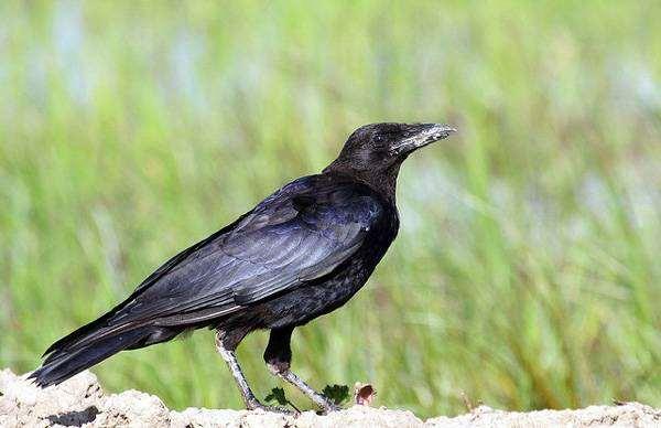 Черная ворона (Corvus corone), фото врановые птицы фотография