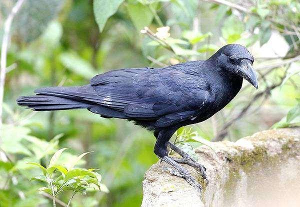 Ворона (Corvus corone), фото птицы картинка