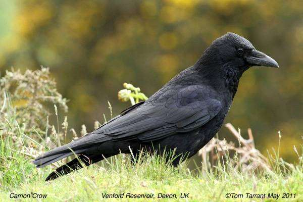 Черная ворона (Corvus corone), фотография птицы изображение