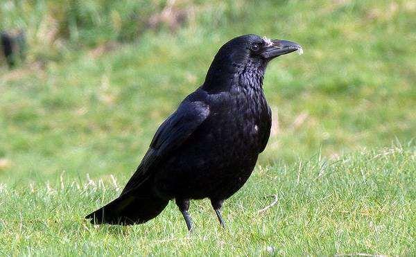 Черная ворона (Corvus corone), фото виды птиц