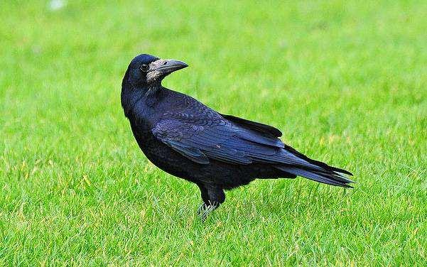Грач (Corvus frugilegus), фото птицы фотография