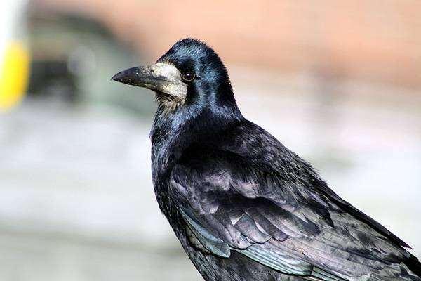 Грач (Corvus frugilegus), фото врановые птицы иображение