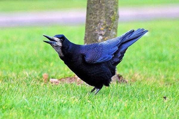 Грач (Corvus frugilegus), фотография вороновые птицы фото