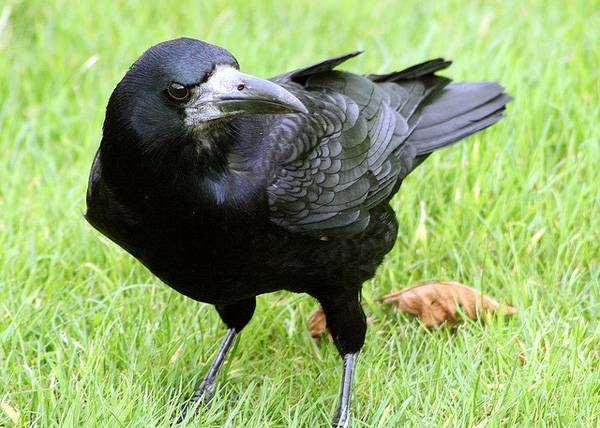 Грач (Corvus frugilegus), птицы фото фотография картинка