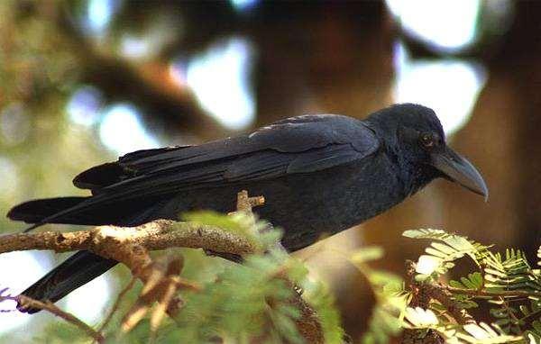 Большеклювая ворона (Corvus levaillantii), фото врановые птицы фотография