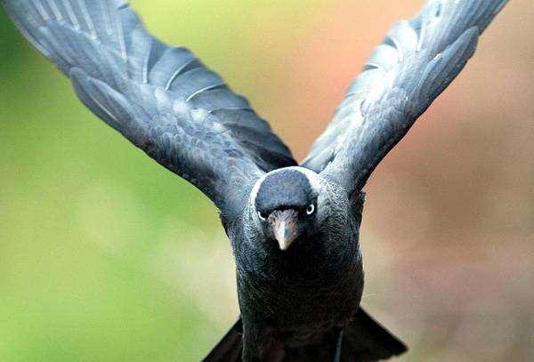 Галка (Corvus monedula), картинка птицы