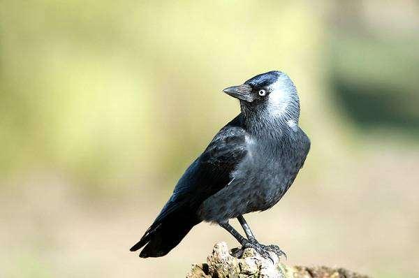 Галка (Corvus monedula), фотография птицы изображение