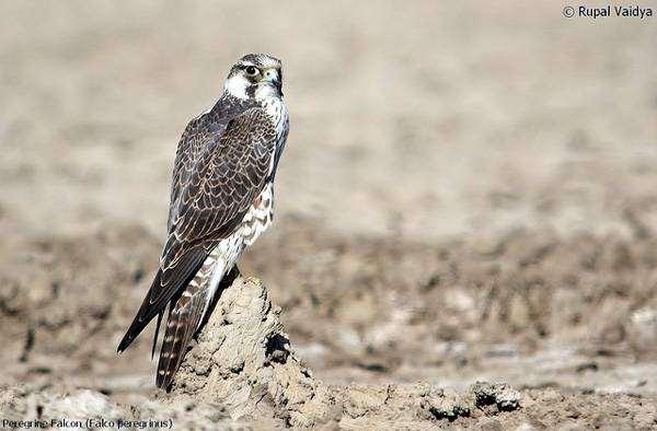Сапсан (Falco peregrinus), фото новости о животных фотография птицы
