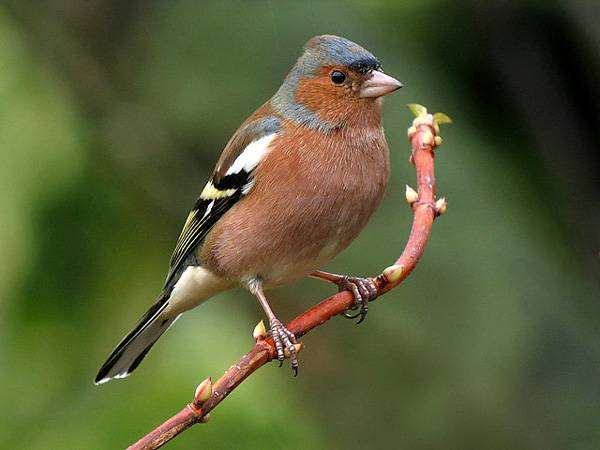 <strong>������</strong>, <strong>������</strong> (Fringilla coelebs), ������� �������� �������� <strong>...</strong>