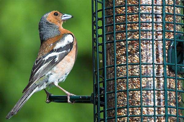 Зяблик (Fringilla coelebs) изображение птицы фото