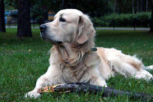 Голден ретривер, собаки породы собак фотография
