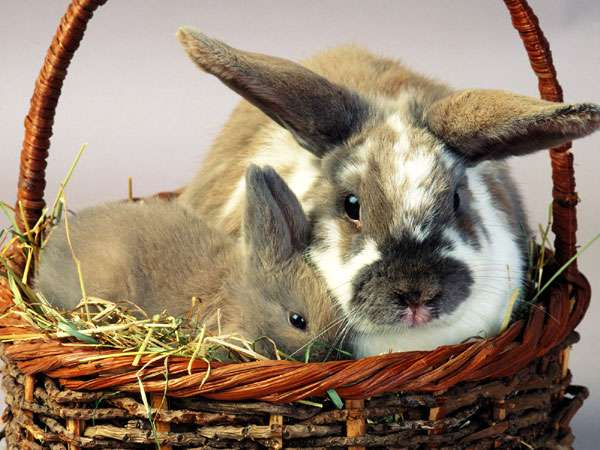 Карликовый и обычный кролики в корзинке, фото вопросы про кроликов фотография