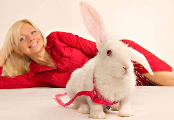Белый кролик в красной шлейке, фото вопросы про домашних кроликов фотография