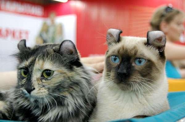 Американский керл  - история породы, фото альбом, стоимость, где купить, как ухаживать, чем кормить, сколько живет, породы кошки