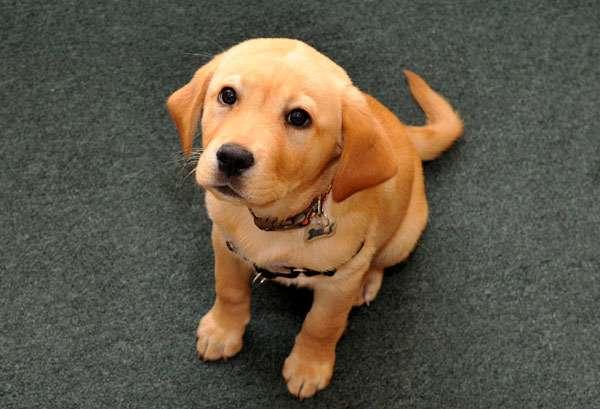 Щенок лабрадора, отографияфото собаки