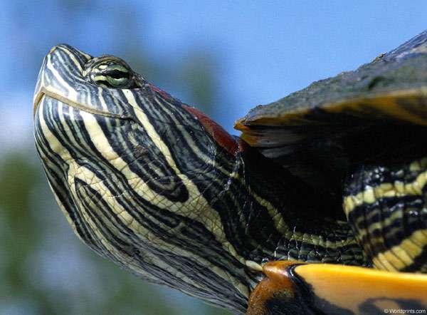Красноухая черепаха (Trachemys scripta scripta), фото рептилии фотография картинка