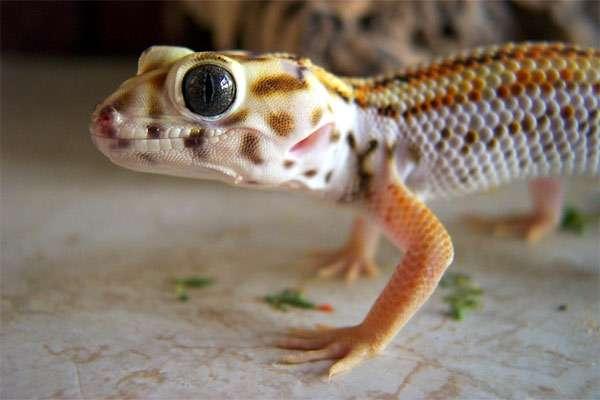 Сцинковый геккон (Teratoscincus scincus), фото ящерицы фотография
