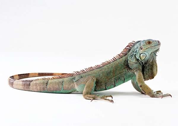 Зеленая игуана (Iguana iguana), фото рептилии фотография