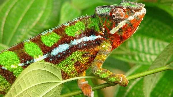 Хамелеон, фото рептилии фотография картинка